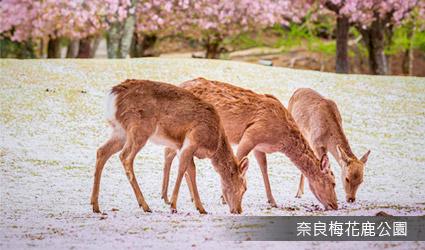 奈良梅花鹿公園