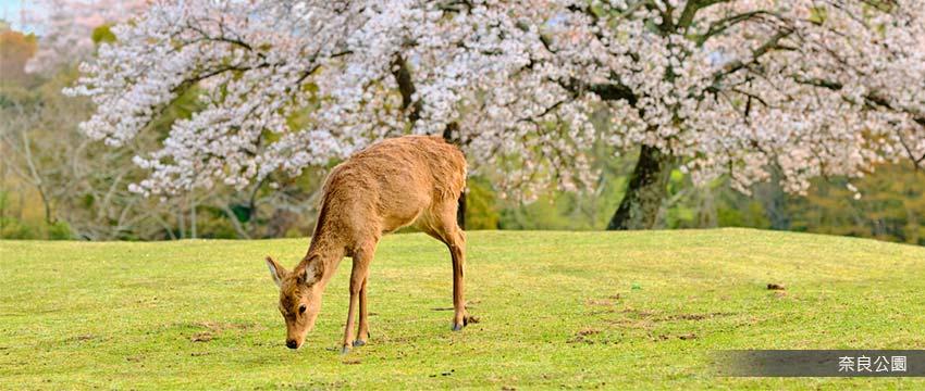 櫻花百選名所奈良公園