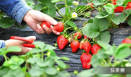 觀光果園採草莓
