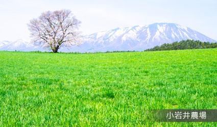 小岩井農場(一本櫻)