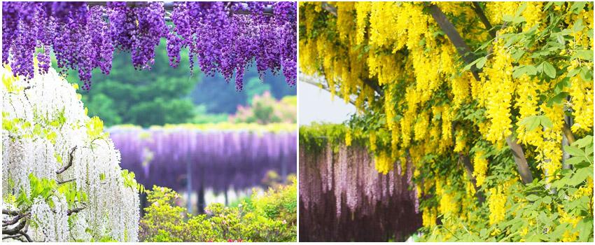 足利花卉公園白藤和黃花藤
