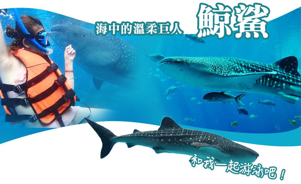 與鯨鯊共游