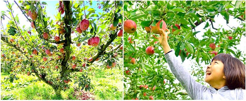 福壽山農場採果樂