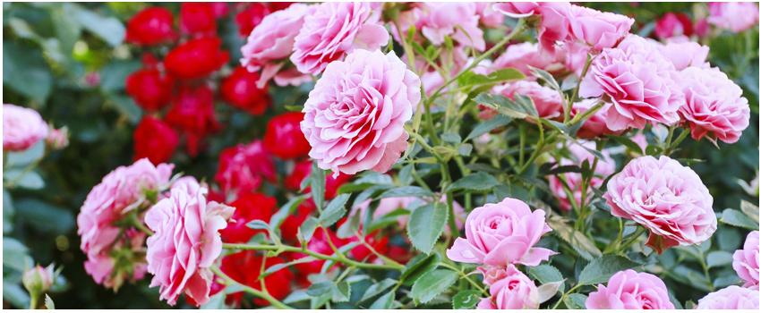 蘿莎玫瑰山莊