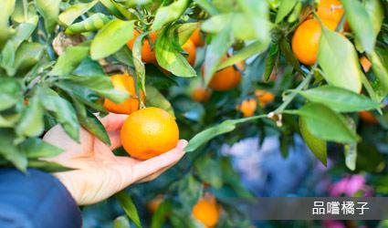 品嚐橘子(每人小甜橘2顆)