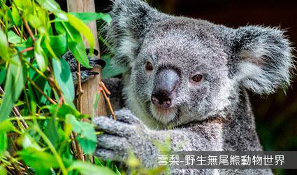 澳洲_雪梨_野生無尾熊動物世界