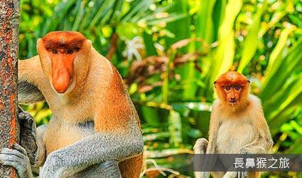 長鼻猴生態之旅