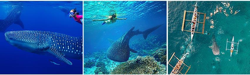 歐絲陸鯨鯊共舞