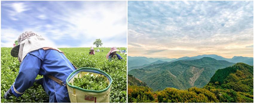 嘉義生力農場隙頂品茶體驗