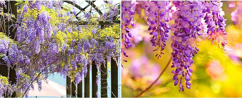 瑞里茶壺民宿-紫藤花