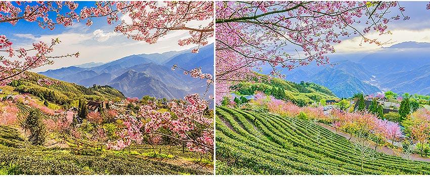 山上人家森林農場櫻花季