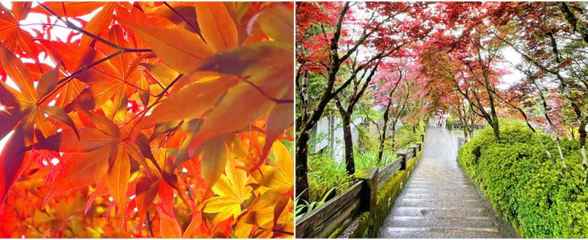 太平山國家森林遊樂區-紫葉槭
