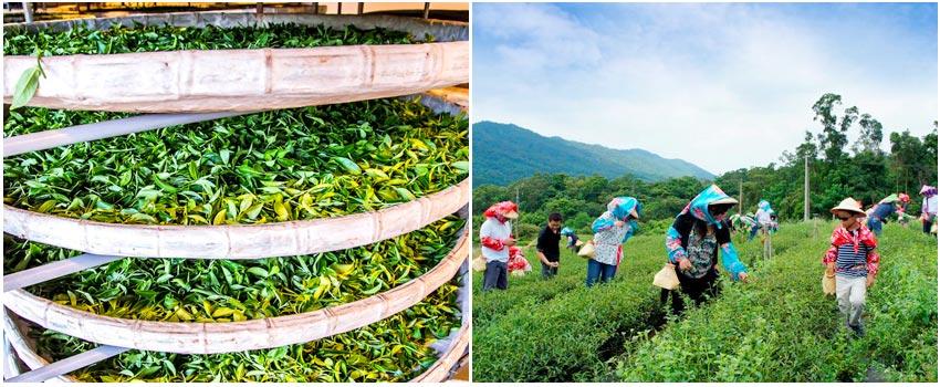 體驗茶農生活
