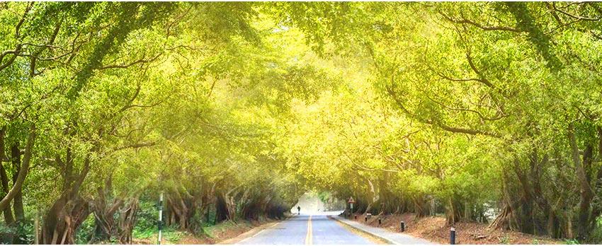 榕樹林蔭大道