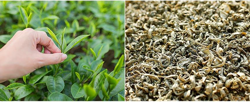 港口茶採茶品茗