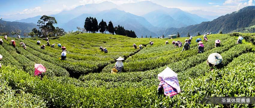 茶葉休閒農場