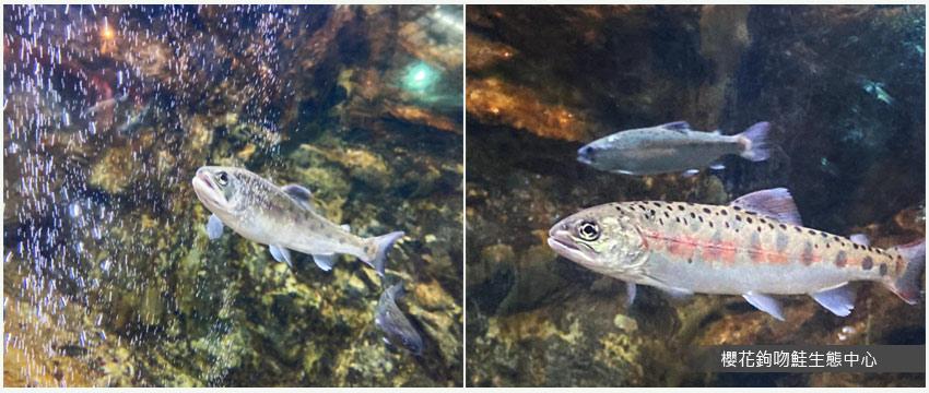 櫻花鉤吻鮭生態中心