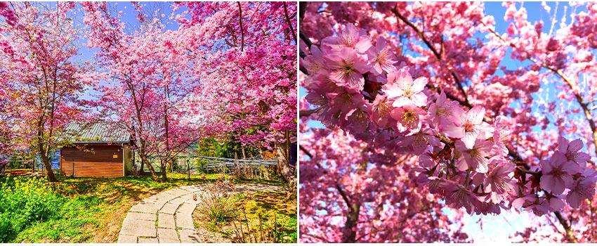 恩愛農場櫻花季