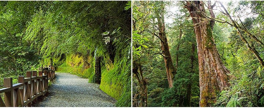 拉拉山(達觀山)神木群步道