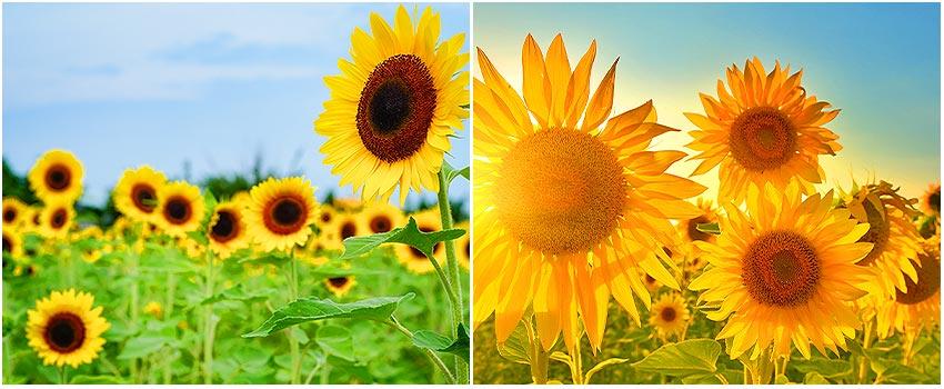 向陽農場向日葵花海